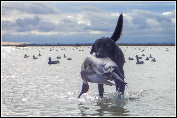 16-300015_duck_club_Annie_retrieving_a_sprig_#25_1-30-16_f.jpg