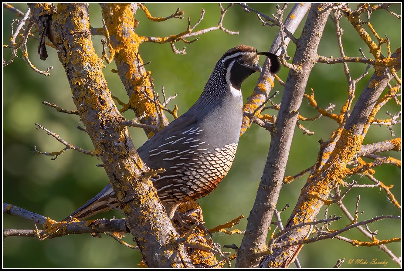 20-NY5A3005 California quail fs.jpg