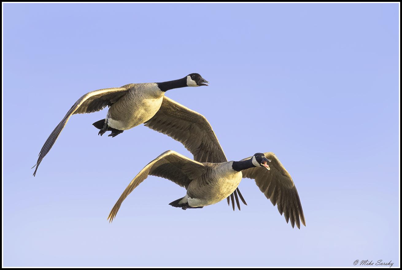 21-23A2681 pair of Canada geese fs.jpg