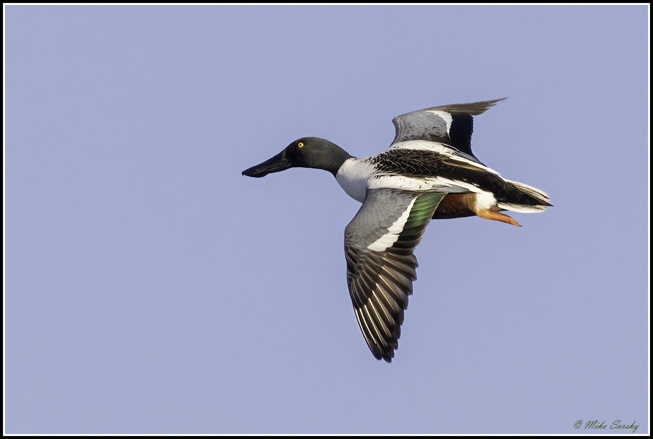21-MG_3821 northern shoveler fs.jpg