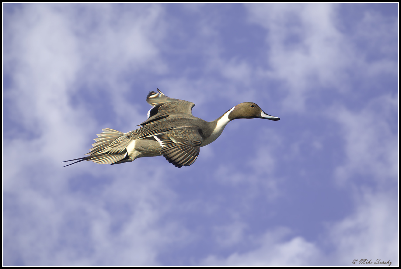 21-MG_3945 drake pintail cl fs.jpg