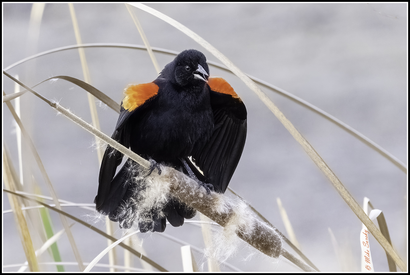 21-S7A5292 red-winged blackbird fs.jpg
