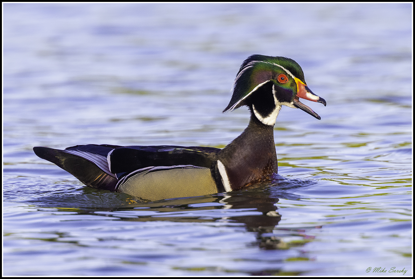 21-S7A8792 drake wood duck fs.jpg