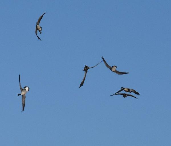 acrobat geese small.jpg