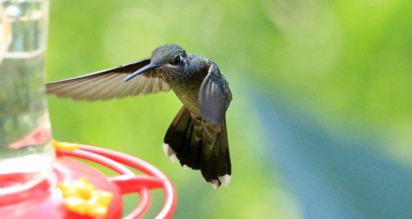 Annas Hummingbird_Santa Rita Lodge_Madera Canyon_2.jpg