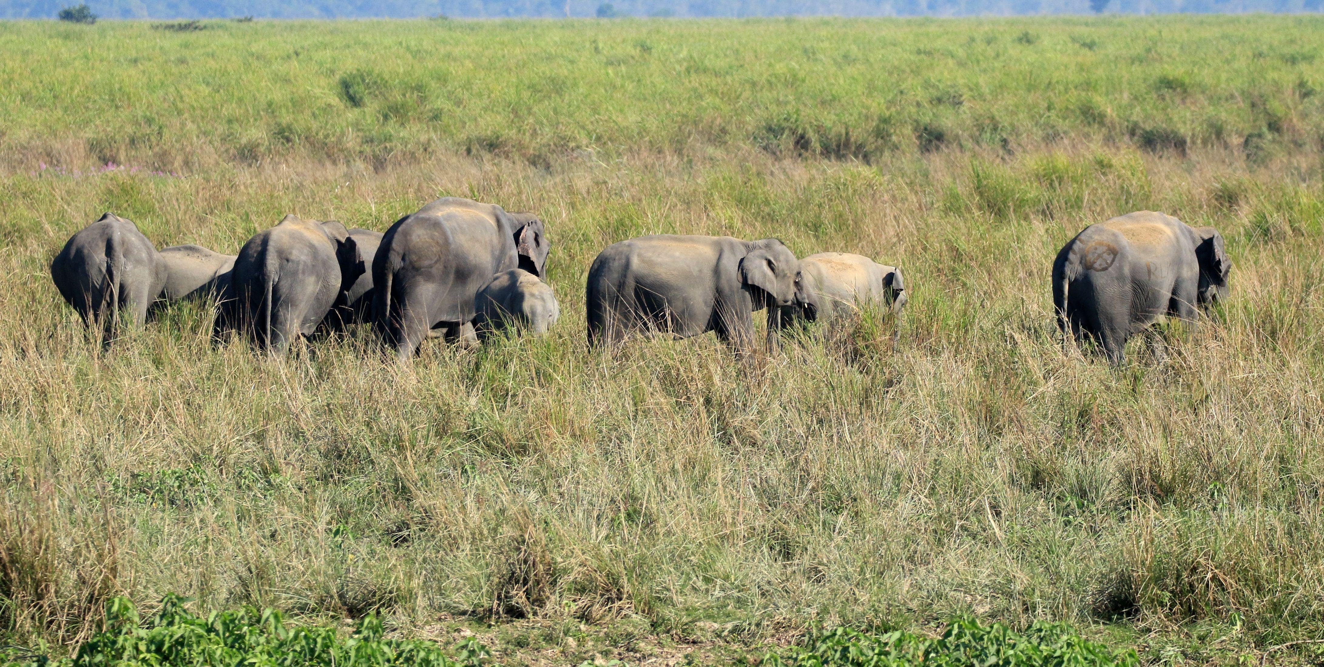 Asian Elephant_Kaziranga NP_6.jpg