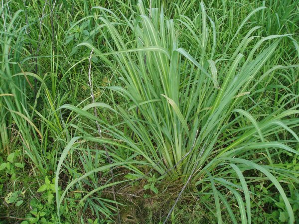 barnyardgrass clump.JPG