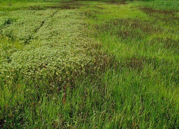 barnyardgrass release_3.JPG