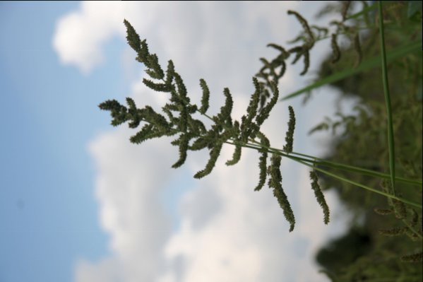barnyardgrass seed head2.jpg