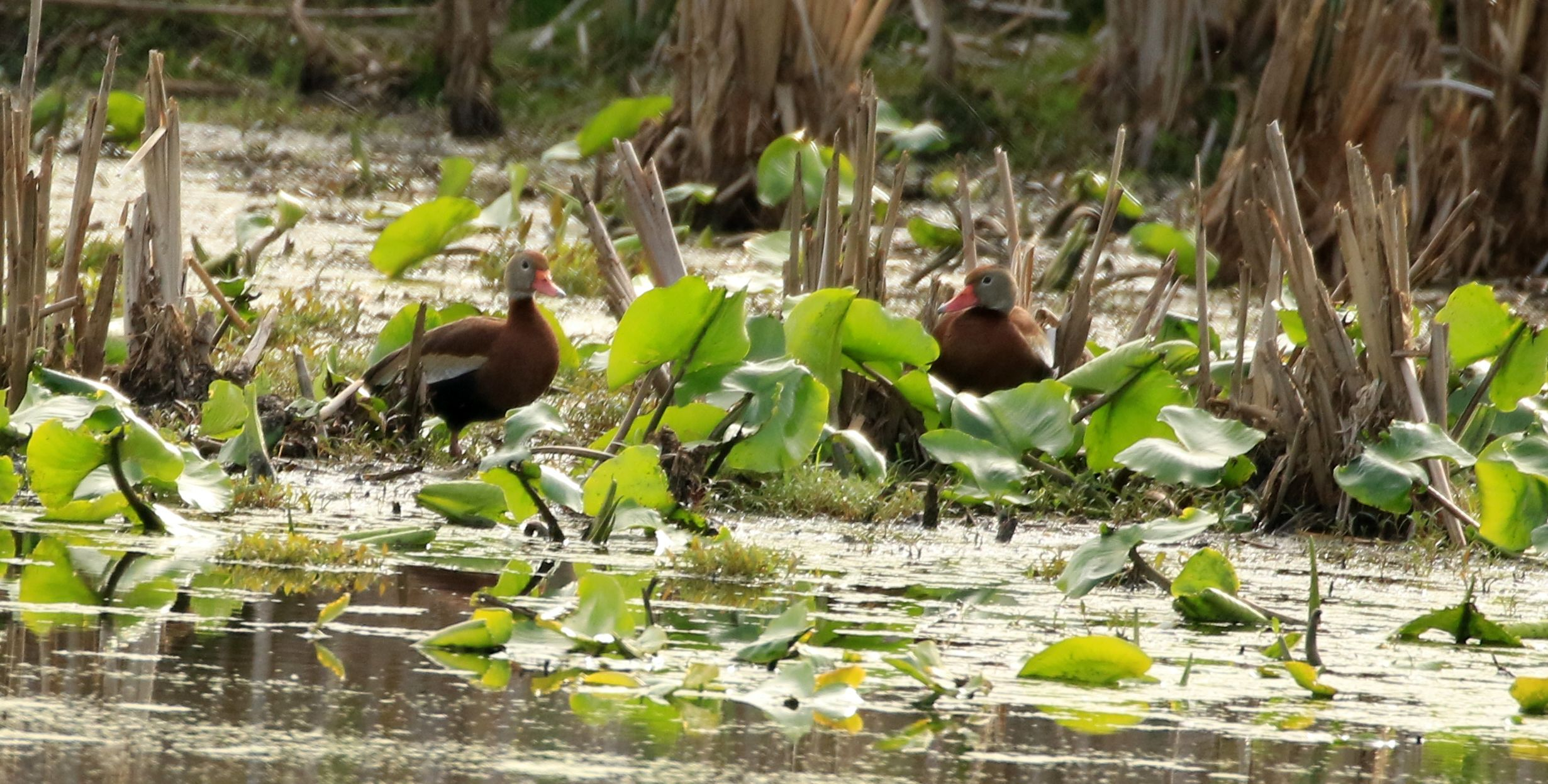 Black-bellied Whistling Ducks_Wright Marsh_Wayne Co.jpg