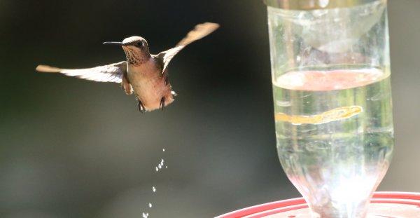 Black-Chinned Hummingbird_Santa Rita Lodge_Madera Canyon_4.jpg