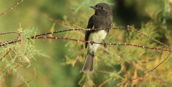 Black Phoebe_Sweetwater Preserve_Tucson_6.jpg