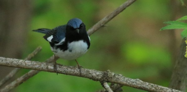 Black-Throated Blue Warbler_Magee Marsh Boardwalk_3.jpg