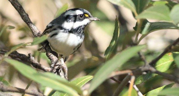 Black-Throated Gray Warbler_Willow Canyon_Mt Lemmon_AZ_5.jpg