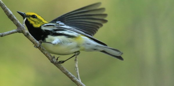 Black-Throated Green Warbler_Magee Marsh Boardwalk_9.jpg
