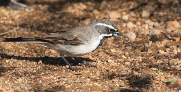 Black-Throated Sparrow_White House Canyon Rd_Madera Canyon_7.jpg