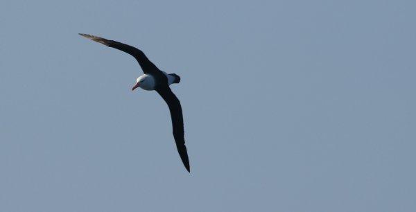 Black_Browed Albatross_Drake Passage (3)_rev.jpg