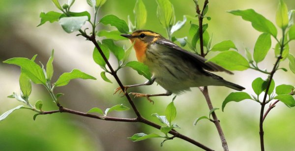 Blackburnian Warbler_Female_Magee Marsh Boardwalk_2.jpg