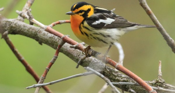 Blackburninan Warbler_Magee Marsh Boardwalk_10.jpg