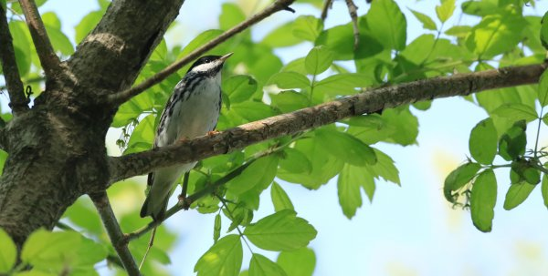 Blackpoll Warbler_Magee Marsh Boardwalk.jpg