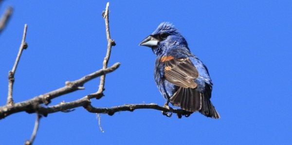 Blue Grosbeak_San Pedro House_3.jpg