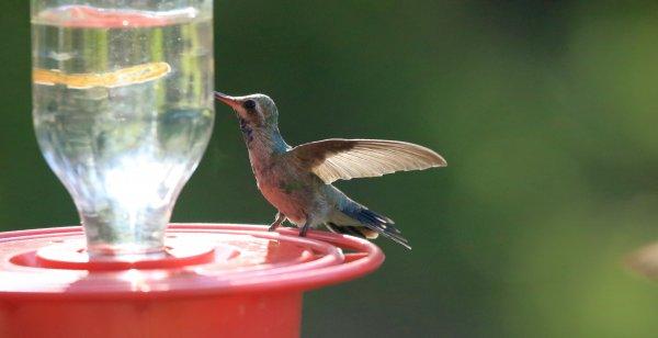 Broad-Billed Hummingbird_Santa Rita Lodge_Madera Canyon.jpg