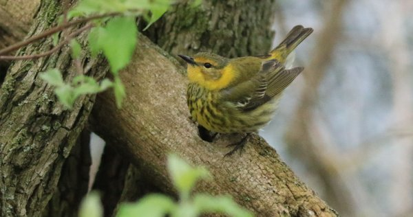 Cape May Warbler_Female_Magee Marsh Boardwalk_4.jpg