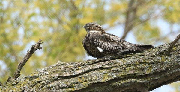 Common Nighthawk_Magee Marsh Boardwalk_4.jpg