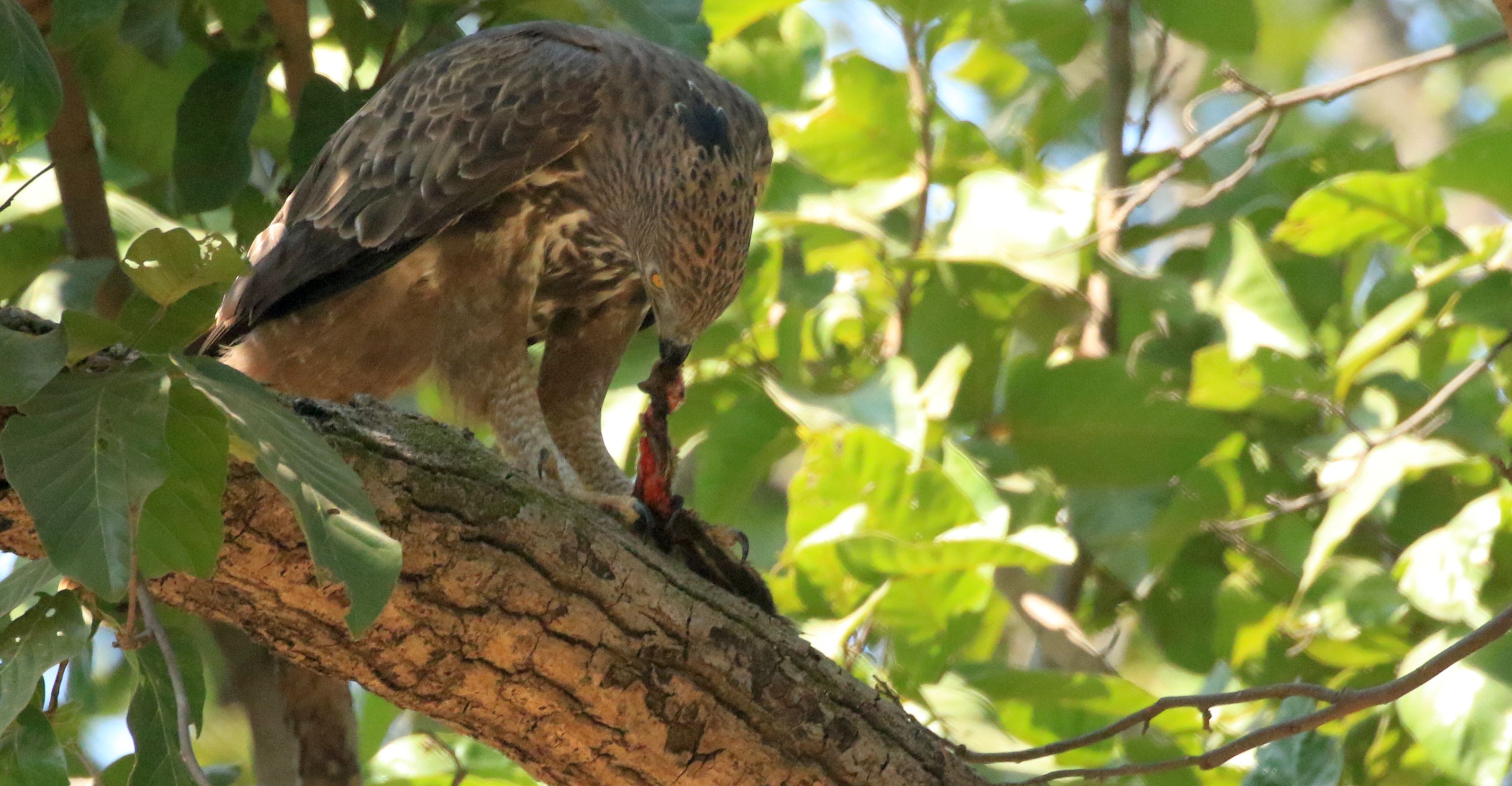 Crested Hawk-Eagle_Bandhavgarh_10.jpg