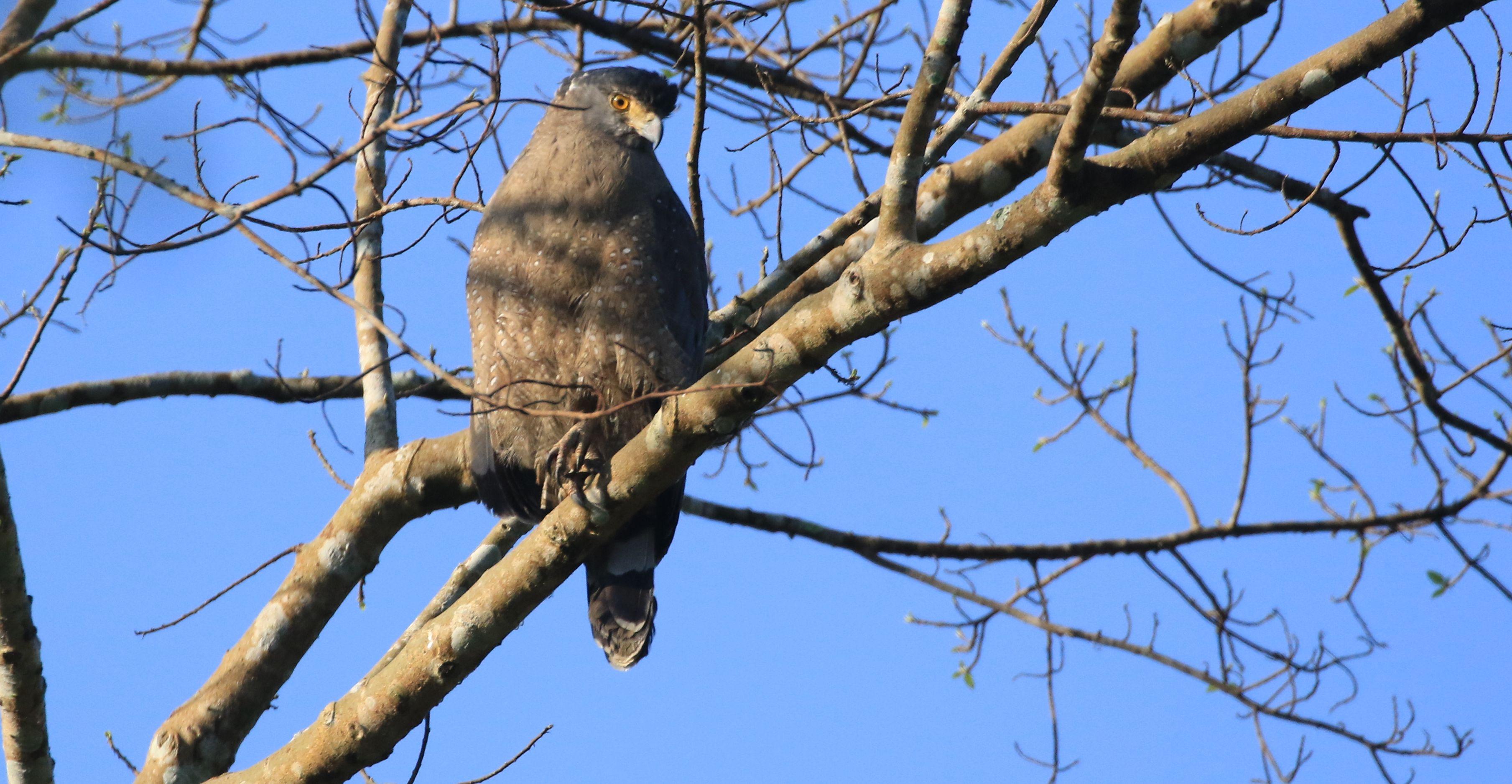 Crested Serpent Eagle_Assam Trunk Rd.jpg