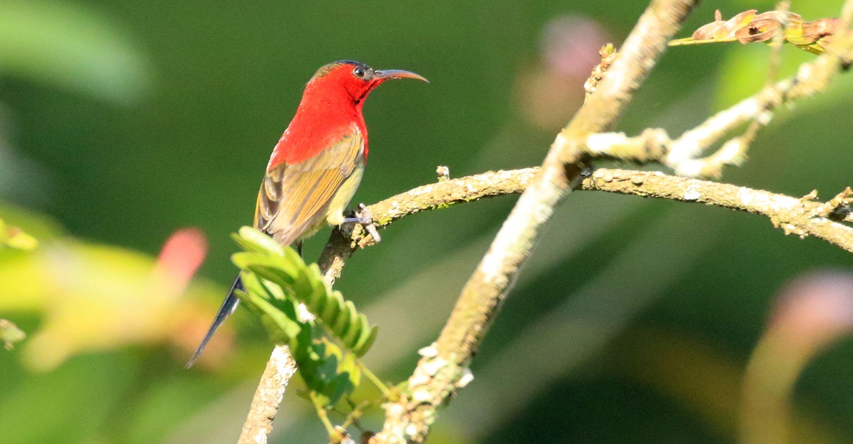 Crimson Sunbird_Haroocharai Tea Estate_Pulibor_4.jpg