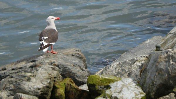 Dolphin Gull_Ushuaia_rev.JPG