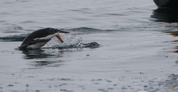 Gentoo Penguins_Cierva Cove (14)rev.jpg