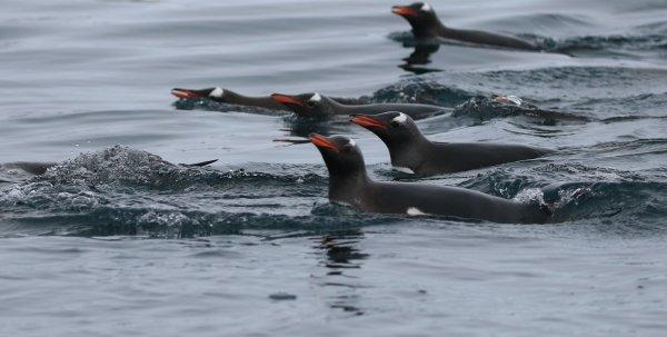 Gentoo Penguins_Cierva Cove (4)rev.jpg