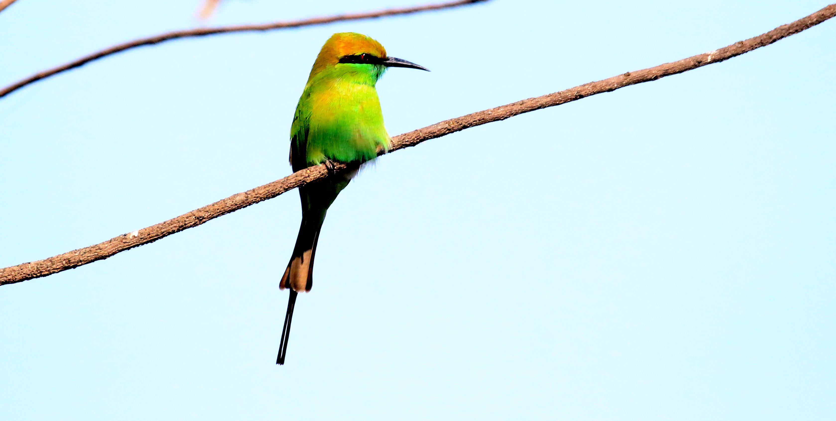 Green Bee-eater_road to King's Lodge_3.jpg