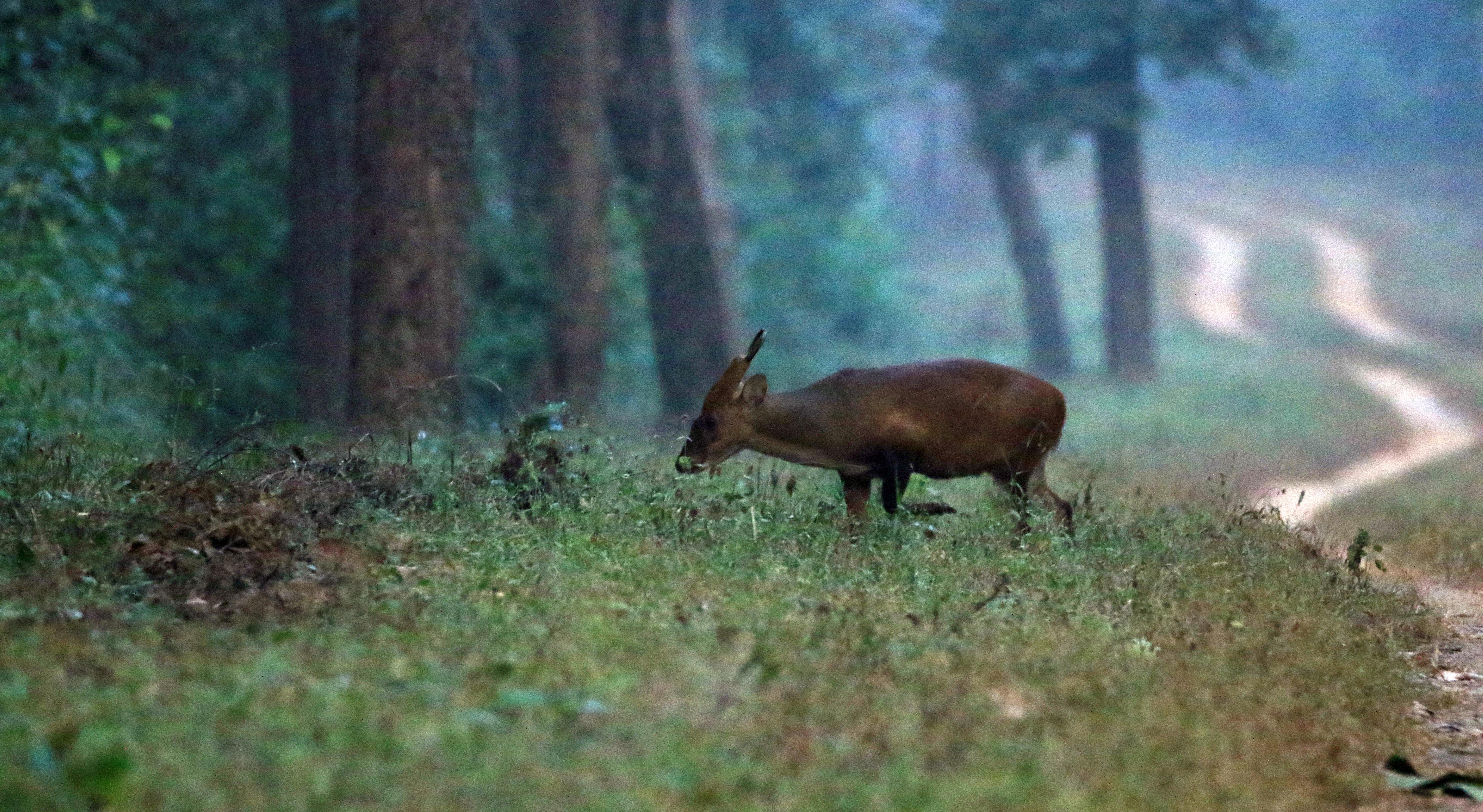 Hog Deer_Kanha NP.jpg