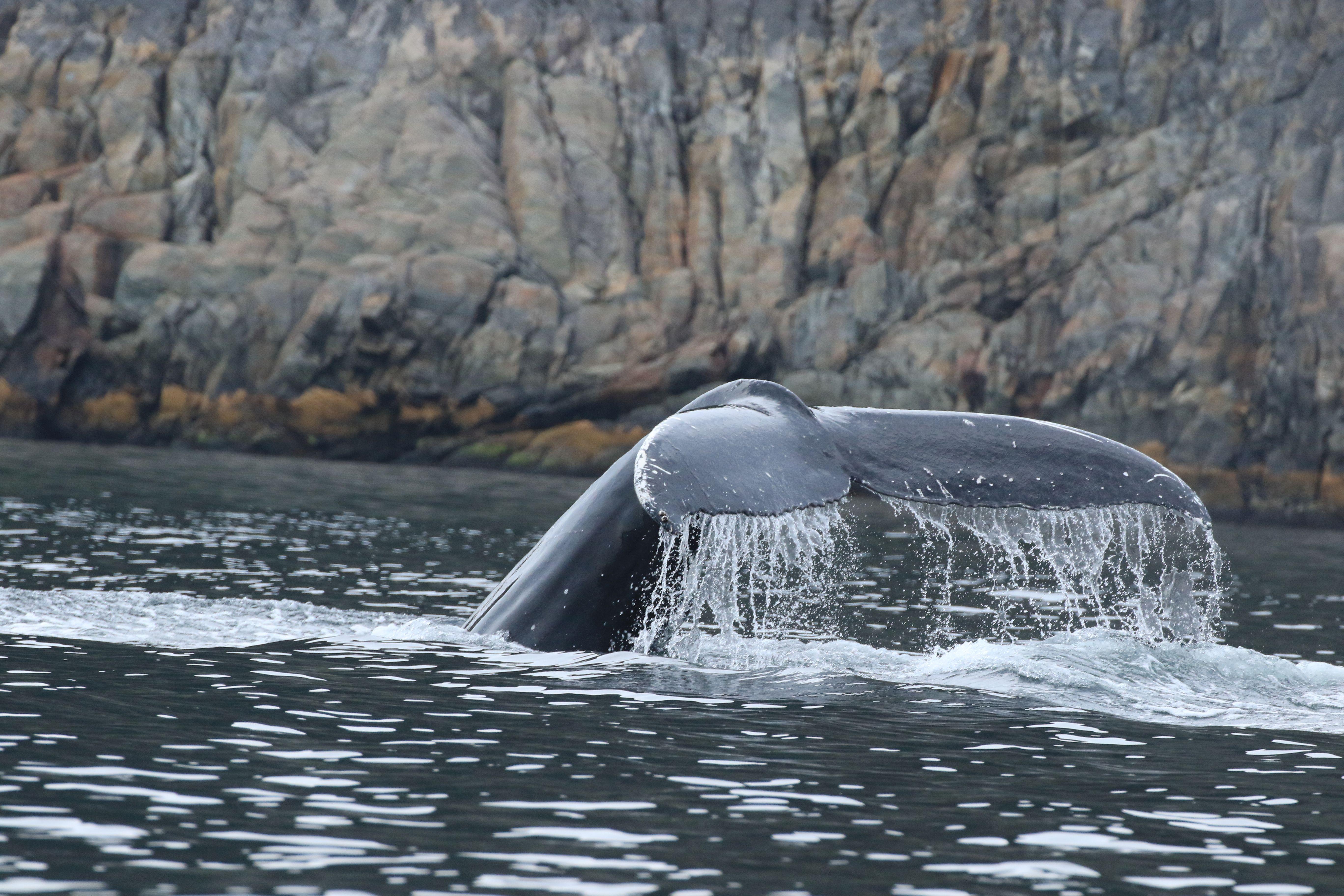 Humpback Whale_Trinity Bay_8.jpg