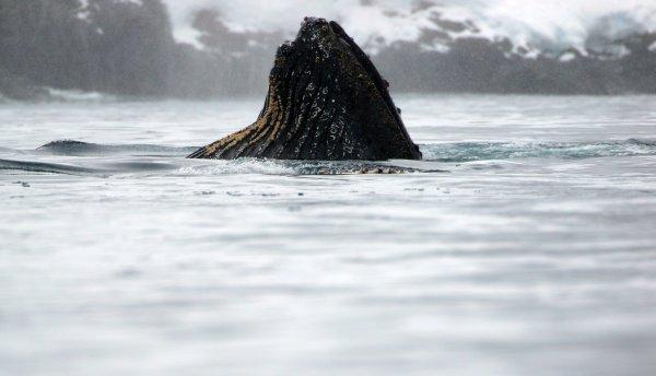 Humpback Whales_Cierva Cove (27) rev.jpg