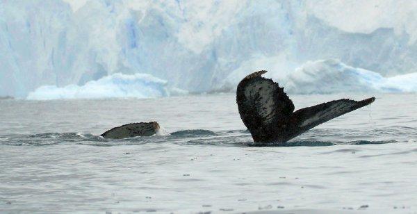 Humpback Whales_Cierva Cove (6) rev.jpg