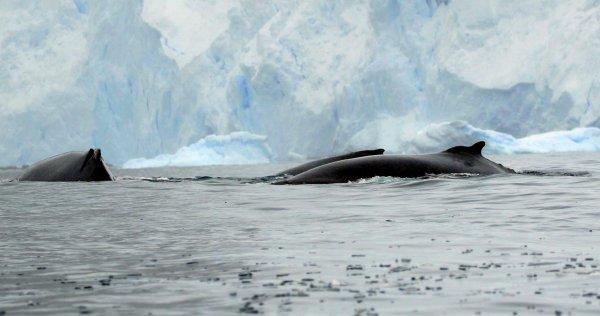 Humpback Whales_Cierva Cove rev.jpg