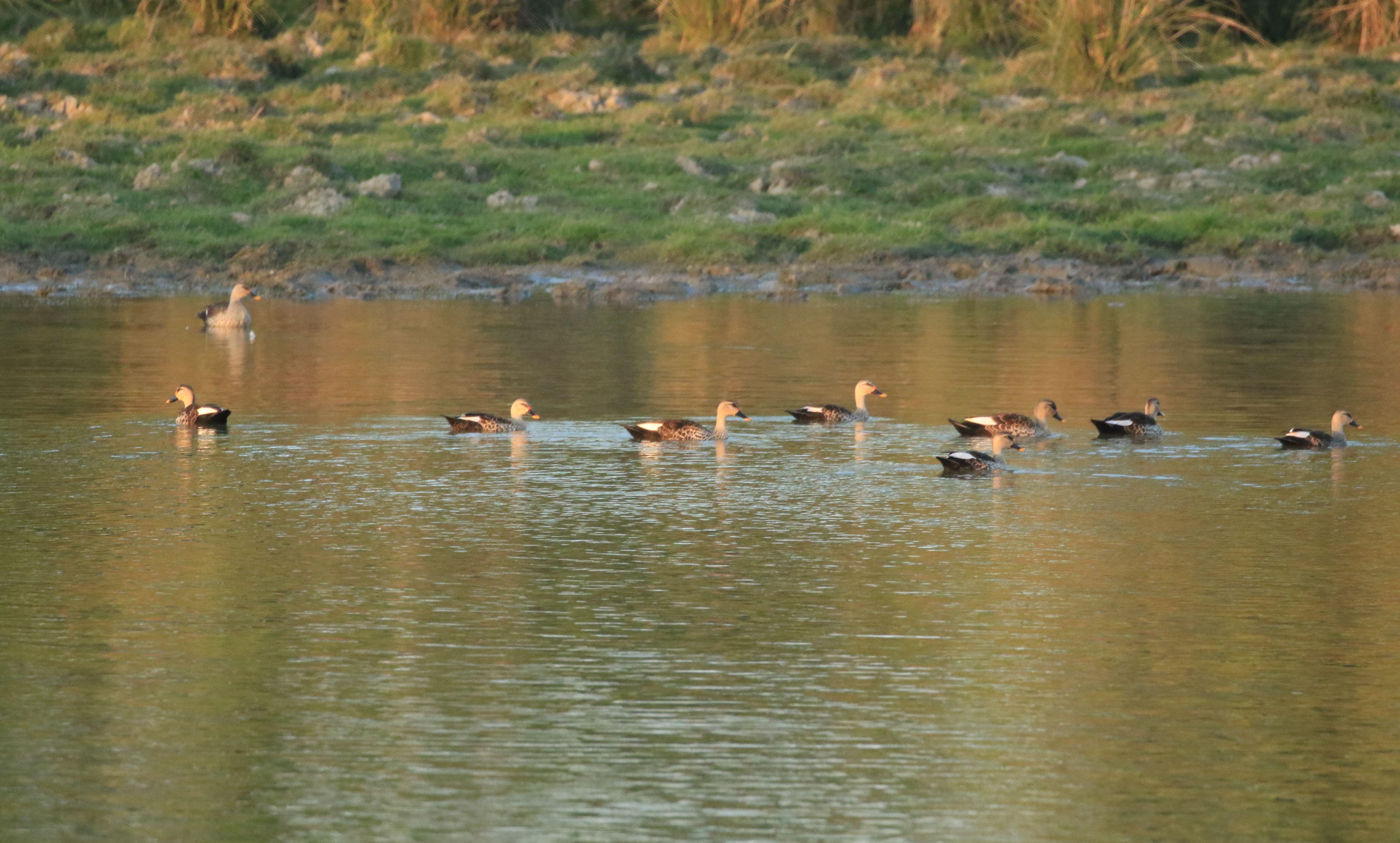 Indian Spot-billed Duck_Kaziranga NP_3.jpg
