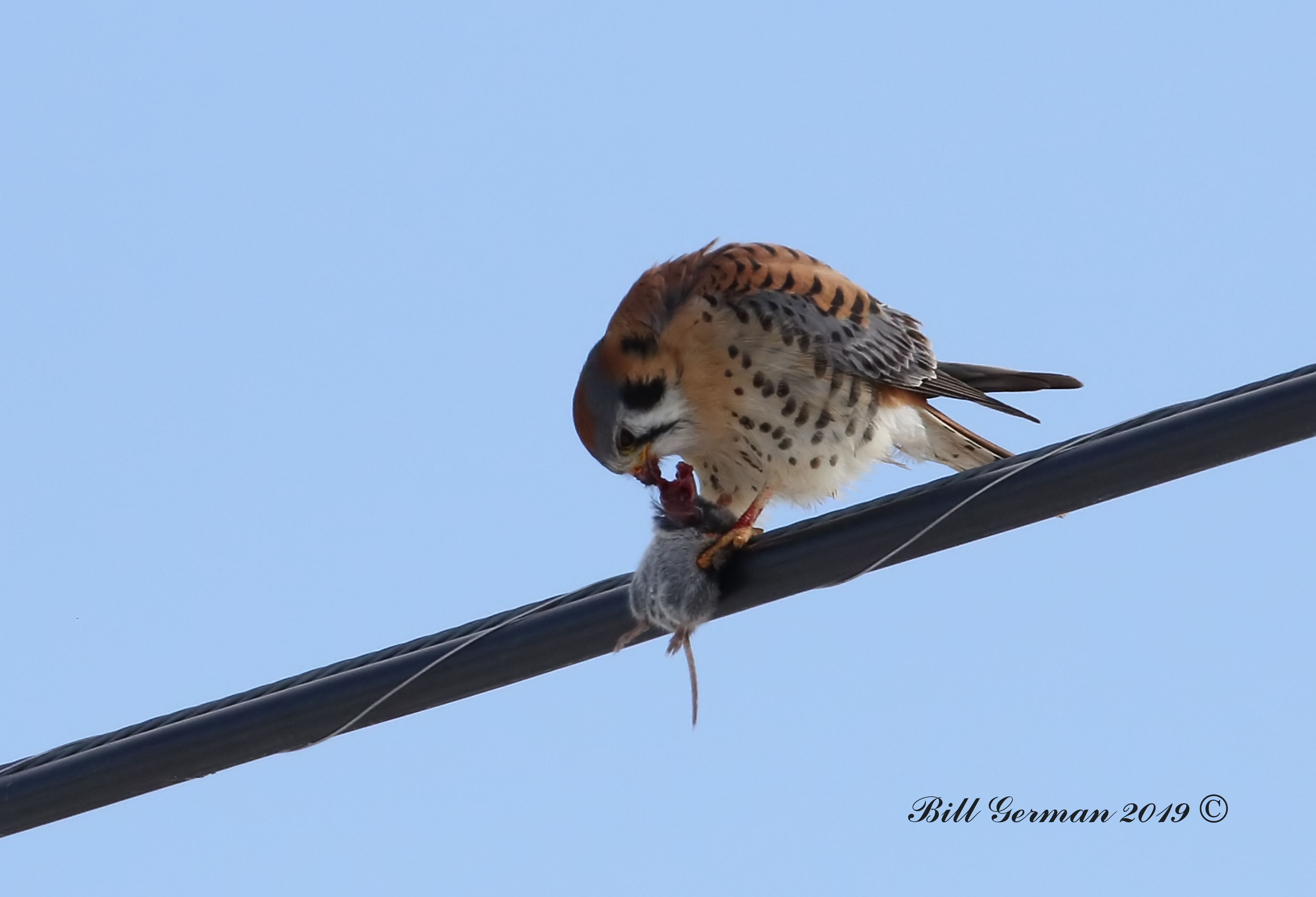 Kestrel with mouse 0M2A0258a.jpg