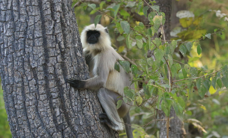 Langur Monkey_Kanha NP.jpg