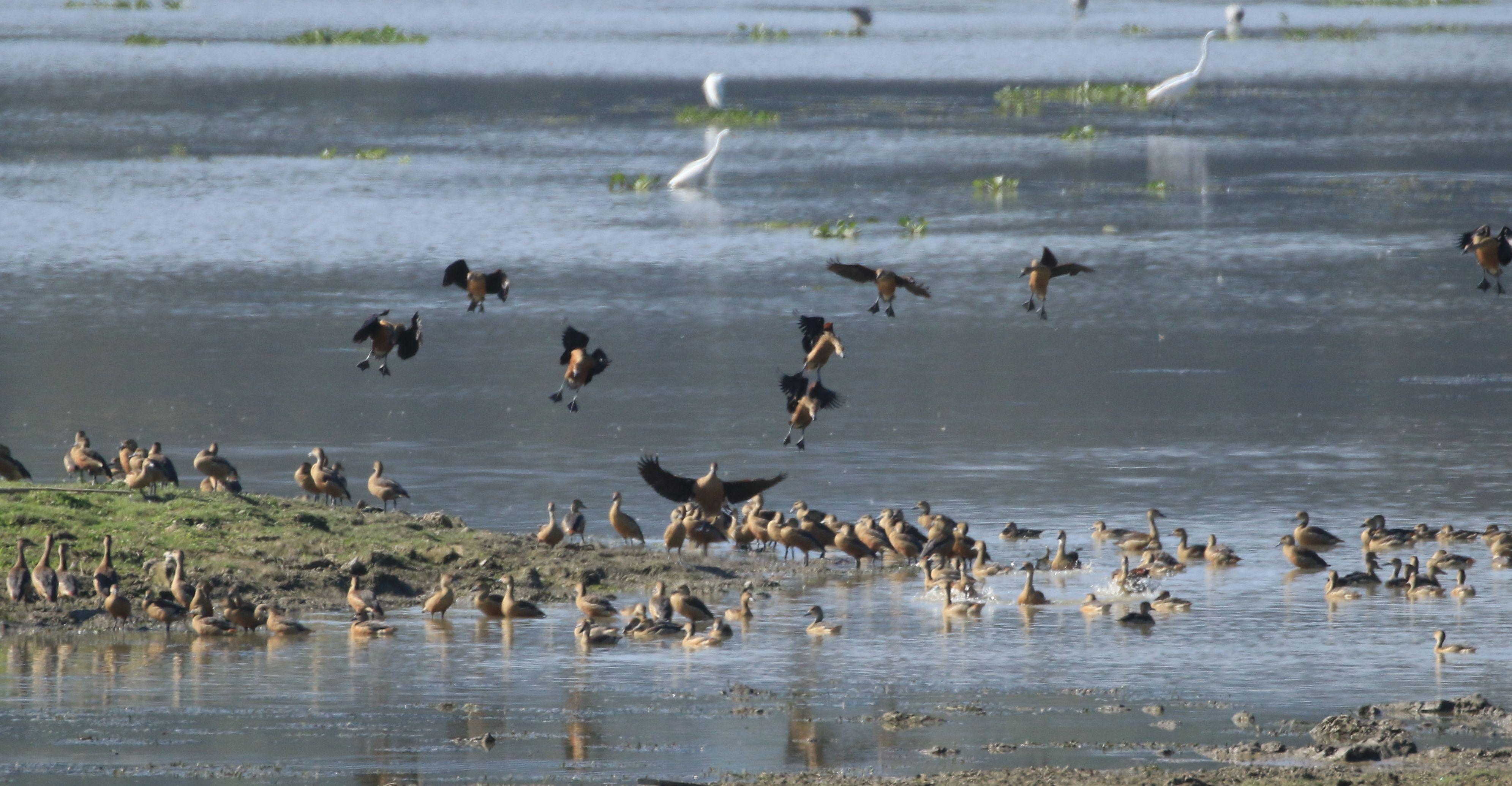 Lesser Whistling-duck_Kaziranga_5.jpg