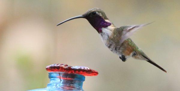 Lucifer Hummingbird_Ash Canyon B&B_Sierra Vista_13.jpg