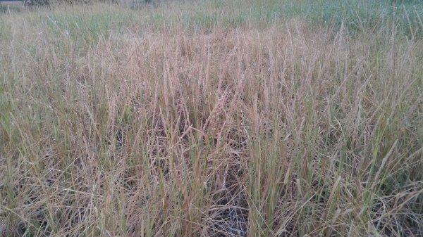 manna grass.jpg