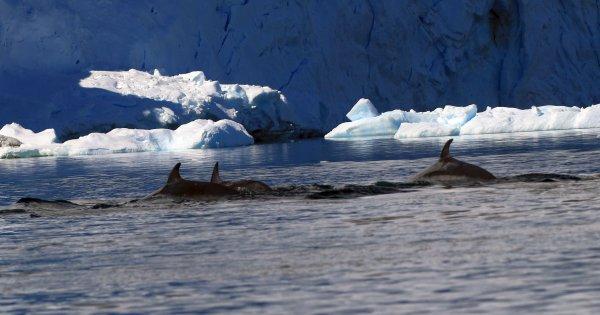 Minke Whales_Port Charcot (19) rev2.jpg