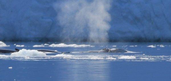 Minke Whales_Port Charcot (20) rev2.jpg