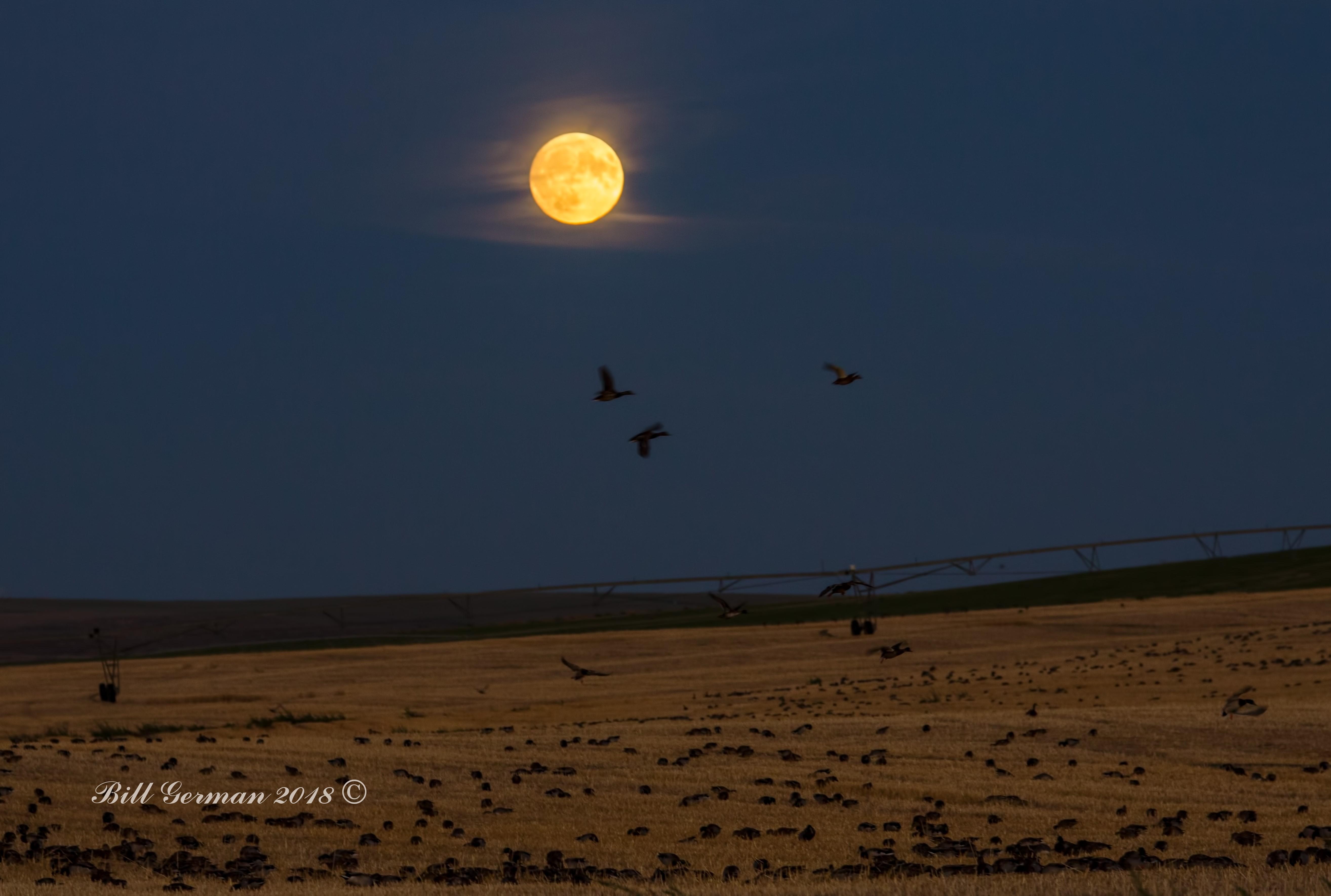 Moonlight Mallards 1.jpg