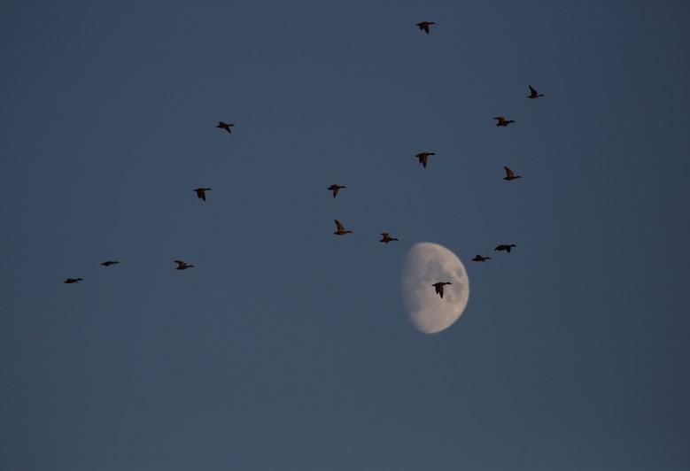 Moonlight Mallards 3.jpg